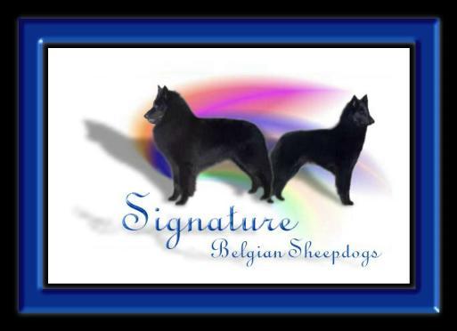 Signature Belgian Sheepdogs
